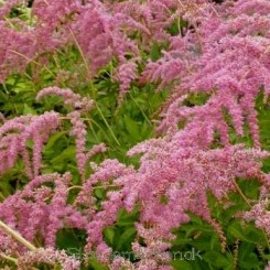 Astilbe thunbergii Betsy Cuperus - Astilbe bord 55