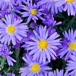 Aster dumosus Lady in Blue - Aster Bord 11b