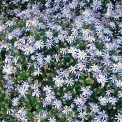 Aster ageratoides Nanus - Japansk Asters Boed 15b