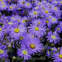 Aster amellus Dr. Otto Petscheck - Aster Bord 20b
