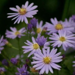 Aster cordifolius Little Carlow - Asters Bord 11a