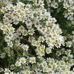 Aster ericoides Herbstmyrthe - Lyngasters Bord11b