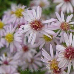 Aster ericoides Pink Cloud - Lyngasters Bord 13b