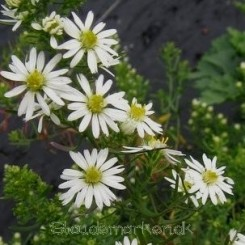 Aster ericoides Schneegitter - Lyng Asters Bord 17a 33b