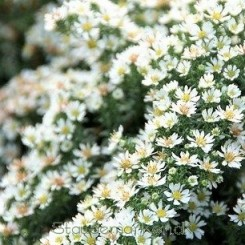 Aster ericoides Snowflurry - Lyngasters Bord 5b
