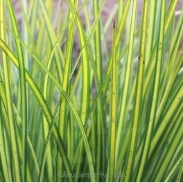 Carex brunnea Lady Sunshine  -  Star Bord 38