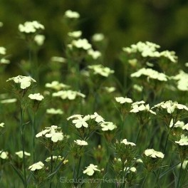 Dianthus knappii - Nellike Bord 98a