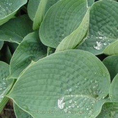 Hosta Big Daddy - Funkia Bord 73b