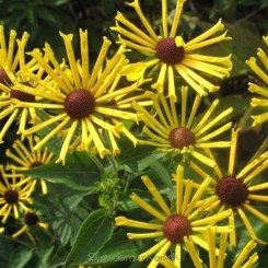 Rudbeckia 'Henry Eilers' - Solhat 1L