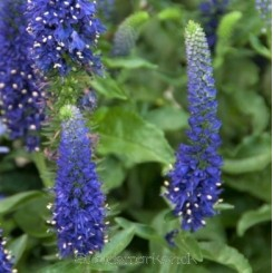 Veronica spicata Blue Carpet  Bord 73a