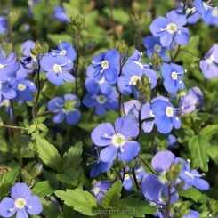 Veronica penduncularis Georgian Blue - Ærenpris Bord 96a