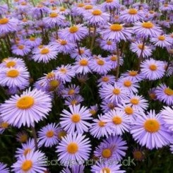 Aster tongolensis Napsbury - Midsommerasters Bord 106a