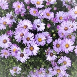 Aster dumosus Majorie - Pudeasters - Bord 11a