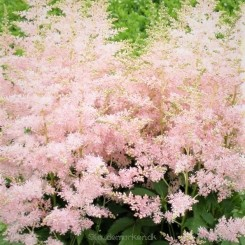 Astilbe Youique Silvery Pink - Astilbe  Bord 07b