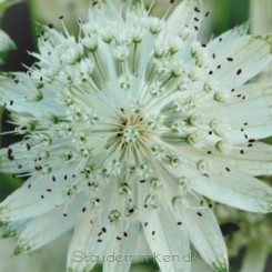 Astrantia major Superstar - Stjerneskærm  Bord 08b