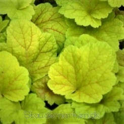 Heuchera Electric Lime - Alunrod Bord 06b
