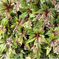 Tiarella Sugar And Spice  - Skumblomst Bord 59