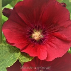 Alcea Spotlight Mars Magic - Stokrose Bord Bord 91b