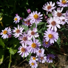 Aster ageratoides Harry Smith - Japansk Asters Bord 93a