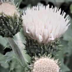 Cirsium rivulare Frosted Magic - Japansk Tidsel Bord 77a