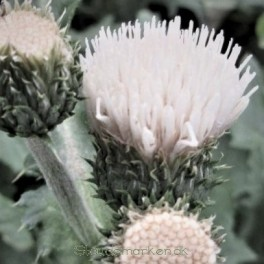 Cirsium rivulare Frosted Magic - Japansk Tidsel Bord 66a