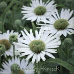 Echinacea purpurea Virgin - Purpur solhat Bord 84a