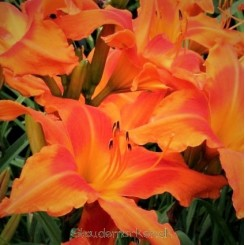 Hemerocallis Primal Scream - Daglilje Bord 82b