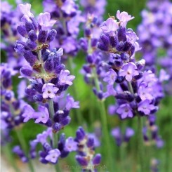 Lavendula angustifolia Essence Purple - Bord 94a
