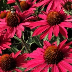 Echinacea purpurea Glowing Dream - Purpursolhat Bord 12b