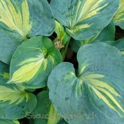 Hosta Dream Queen - Funkia 1L Bord 92b
