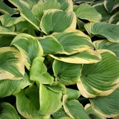 Hosta Fragrant Bouquet - Funkia 1L Bord 56