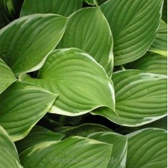 Hosta Fragrant Fire - Funkia 1L Bord 60