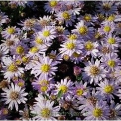Aster ageratoides Asmo - Japansk Asters Bord 85a