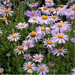 Aster tongolensis Wartburg Stern - Midsommerasters Bord 94a