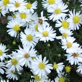 Aster ericoides Monte Cassino - Lyng Asters Bord 106a