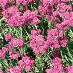 Antennaria dioica Bright Rose - Kattefod Bord 44