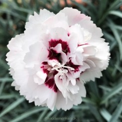 Dianthus Cranmere Pool - Nellike Bord 04a