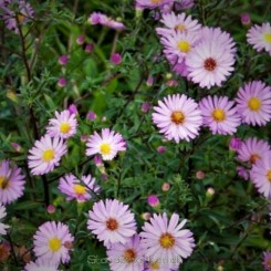 Aster ericoides Esther - Lyngasters Bord 09a
