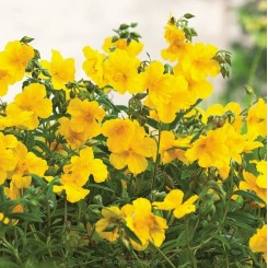 Helianthemum Golden Queen - Soløje Bord 02a
