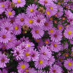 Aster dumosus Anneke - Pudeasters Bord 66a