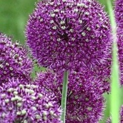 Allium aflatunense 'Purple Sensation' - Prydløg 5 stk ej i potte