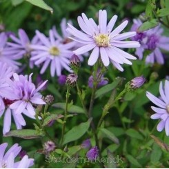 Aster cordifolius  'Blue Heaven' - Hjertebladet Asters