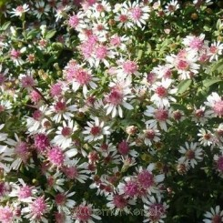 Aster lateriflorus Lady in Black - Sommerens farvel Bord 39