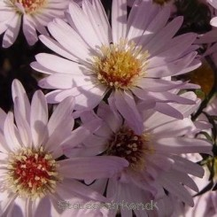 Aster universum 'Anja's Choice' - Asters