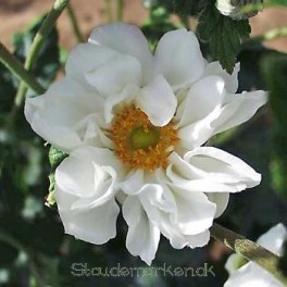 Anemone japonica Whirlwind - Høstanemone 2020  2L bord 76