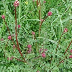 Sanguisorba minor - Bibernelle