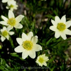 Anemone multifida Major Bord 09