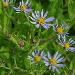 Aster ageratoides var.ovatus f.yezoensis - Japansk asters 1L