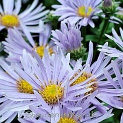 Aster amellus  'silbersee' - Aster 0,5 L.