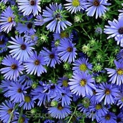 Aster oblongifolia October Skies - Aster Bord 90A